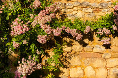Horizontal pic of Climbing plant in stoned wall. Rose climbing plant in a stoned wall in the Dordogne region of France Royalty Free Stock Image