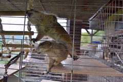 Horizontal picture of prairie dog locked in a cage Royalty Free Stock Image