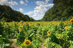 Horizontal Poolesville le Maryland de gisement de tournesol Image libre de droits