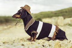 Horizontal portrait back view of a dog puppy, breed dachshund black and tan, in a cowboy costume sits on a stone against a bac royalty free stock photo