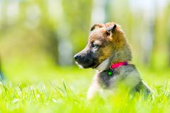 Horizontal portrait of a cautious puppy in a park. On green grass on a summer day Stock Photography