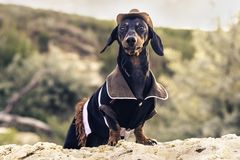 Horizontal portrait of a dog puppy, breed dachshund black and tan, in a cowboy costume sits on a stone against a background of g stock photo
