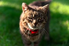 Horizontal portrait of grey domestic grumpy cat stock image