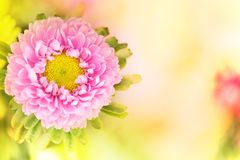 A horizontal presentation of a pink flower. A pink flower in a horizontal presentation with a blurred yellow background on the right with plenty of room for Royalty Free Stock Image