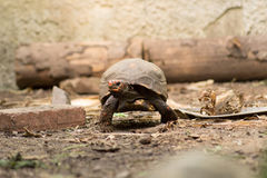 Horizontal red-footed tortoise crawling. Red-footed tortoise crawling around Royalty Free Stock Image