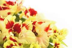 Horizontal rojo y amarillo del gladiolo aislado Fotos de archivo