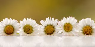 Horizontal row of daisies. Panoramic view. Horizontal row of daisies on a white surface with reflection against a yellow green background. Panoramic view stock image