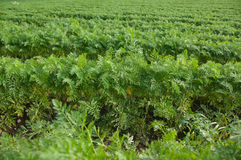 The horizontal rows of carrot. The horizontal picture of the rows of growing carrots royalty free stock photo