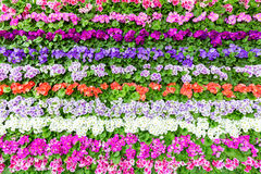 Horizontal rows of various colored flowers Royalty Free Stock Image
