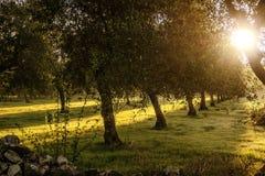 Horizontal rural Rangée des oliviers à l'aube - L'ITALIE (Pouilles) - Photographie stock