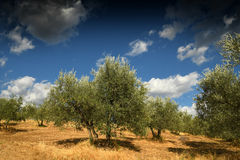 Horizontal rural toscan Belle Olive Trees avec le ciel nuageux bleu Saison d'été, Toscane Photographie stock