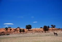 Horizontal sauvage Parc franchissant les frontières de Kgalagadi Le Cap-du-Nord, Afrique du Sud image libre de droits