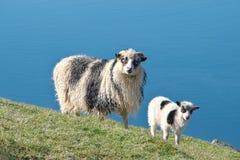 Faroese sheep ewe with lamb on Island Streymoy Strømø of the Faroe islands.