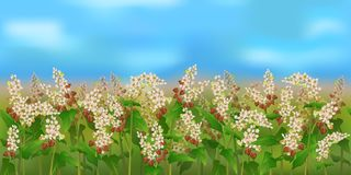 Horizontal seamless buckwheat field with the blue sky. Realistic vector buckwheat field in the harvesting time Stock Photography