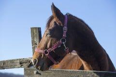 Horizontal shot of a beautiful saddle horse at corral fence agai Royalty Free Stock Photo