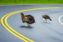 Smoky Mountain Traffic Cop. Horizontal shot of a big male turkey watching a female turkey cross the highway royalty free stock image