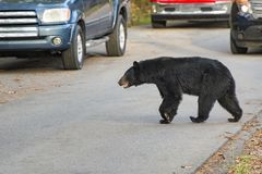 Black Bear Crossing the Road in Cades Cove Tennessee. Horizontal shot of a black bearcrossing the road in the Cades Cove area of the Smoky Mountains National Stock Photography
