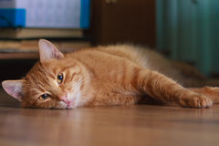 Horizontal shot of cute red cat lying on the floor Royalty Free Stock Photography