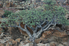 Euphorbia balsamifera also known as sweet tabaiba plant, endemic to Canary Islands, in Tenerife, Spain stock photography