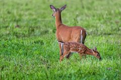 Fawn with Mom in Green Grass. Horizontal shot of a fawn with it`s mother in a green field Royalty Free Stock Images