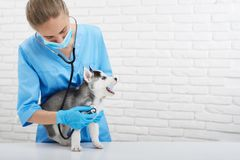 Veterinarian examining little husky puppy royalty free stock photography