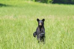 Standing Black Bear Looking At Camera With Copy Space Royalty Free Stock Photography