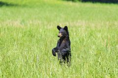 Standing Black Bear Looking At Camera Left With Copy Space Stock Photography
