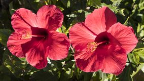 Two exotic and colorful red hibiscus flowers, under strong morning sunlight. Horizontal shot of two large red hibiscus flowers, an ornamental shrub growing Royalty Free Stock Images