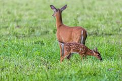 White Tailed Deer With Fawn Stock Images