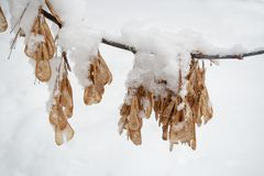 Horizontal snow-covered ash tree branch with hanging seeds-lionfishes. stock photography