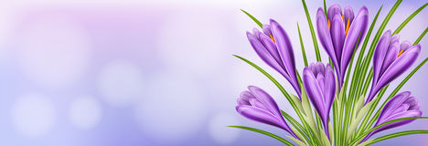 Horizontal spring banner with purple crocus flower. Bouquet and leaf Royalty Free Stock Images