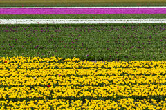 Horizontal stripes of yellow, white and pink tulip fields in Holland Stock Photography