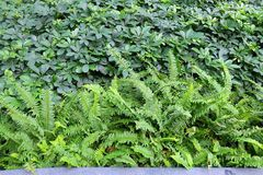 The Horizontal of Tassle Ferns Textured Background Royalty Free Stock Photo
