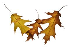Three oak leaves isolated on white stock photography