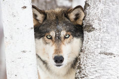 Horizontal timber wolf portrait. Between trees Royalty Free Stock Image