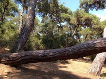 Horizontal tree in the forest Royalty Free Stock Photography