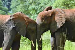 Horizontal of two elephants trunk to trunk Royalty Free Stock Photography