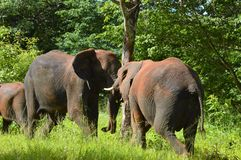 Horizontal of two elephants trunk to trunk Stock Photography