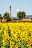 Field of sunflowers near Foligno (Umbria) Stock Photos
