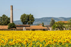 Field of sunflowers near Foligno (Umbria) Royalty Free Stock Images