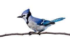 Horizontal view of bluejay perched on a branch Royalty Free Stock Photography