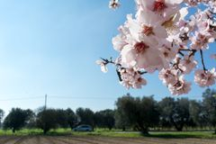 Horizontal View of Close Up of Almond Tree Flowers On Blur Count. Ryside Landscape Background. Pulsano, Taranto, South of Italy Stock Photography