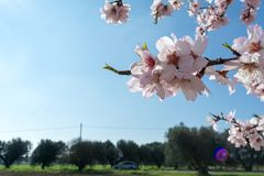 Horizontal View of Close Up of Almond Tree Flowers On Blur Count. Ryside Landscape Background. Pulsano, Taranto, South of Italy Royalty Free Stock Image