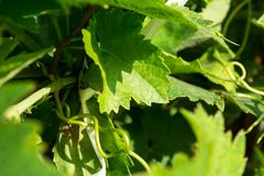 Horizontal View of Close Up of Leaves of Grapes in Plantation Gr stock photography
