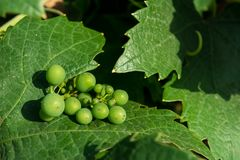Horizontal View of Close Up of Leaves of Grapes in Plantation Gr royalty free stock image