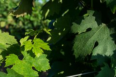 Horizontal View of Close Up of Leaves of Grapes in Plantation Gr stock images
