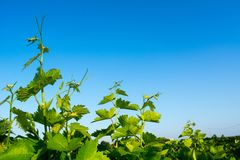 Horizontal View of Close Up of Leaves of Grapes in Plantation Gr stock photos