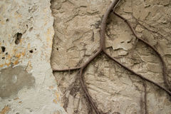Horizontal view of Colonial stucco wall in Asia with large creep Stock Image