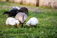 Horizontal View of a Group of Ducks Grazing in the Grass. Tarant. Horizontal View of a Group of Ducks Grazing in the Grass Stock Photography