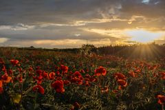 Horizontal View of Poppies Field Illuminated by the Setting Sun Royalty Free Stock Images